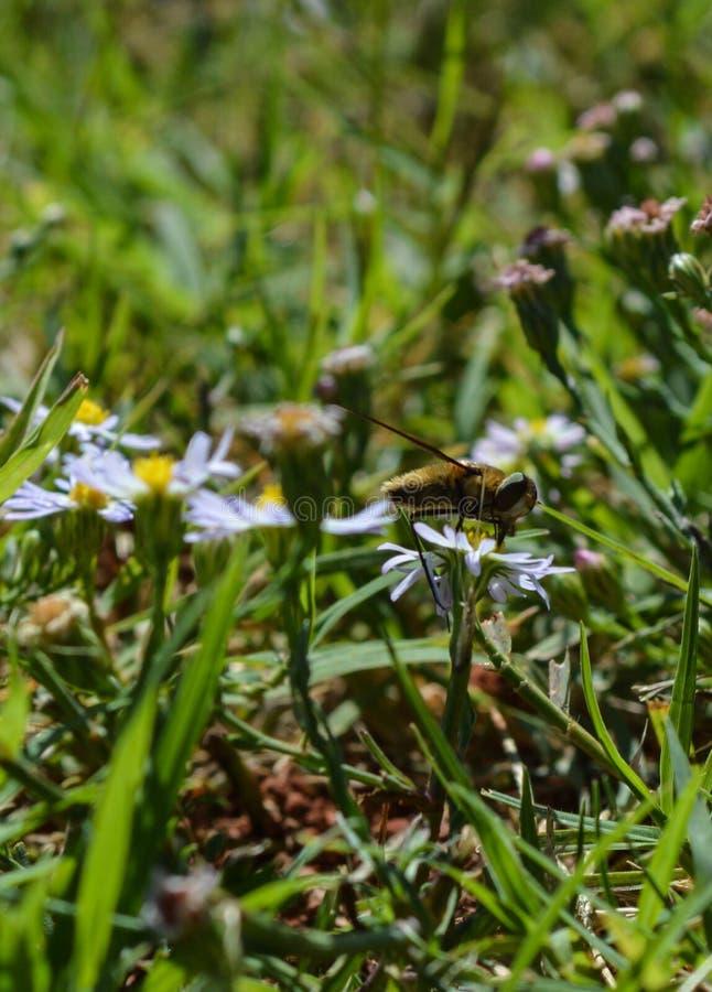 Makrofoto einer Biene, die Nektar von einer kleinen weißen und gelben Blume saugt lizenzfreie stockbilder