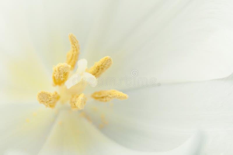 Makrofoto einer Tulpe, der Blumenstampfe und des Staubgefässes Kopieren Sie Platz vektor abbildung