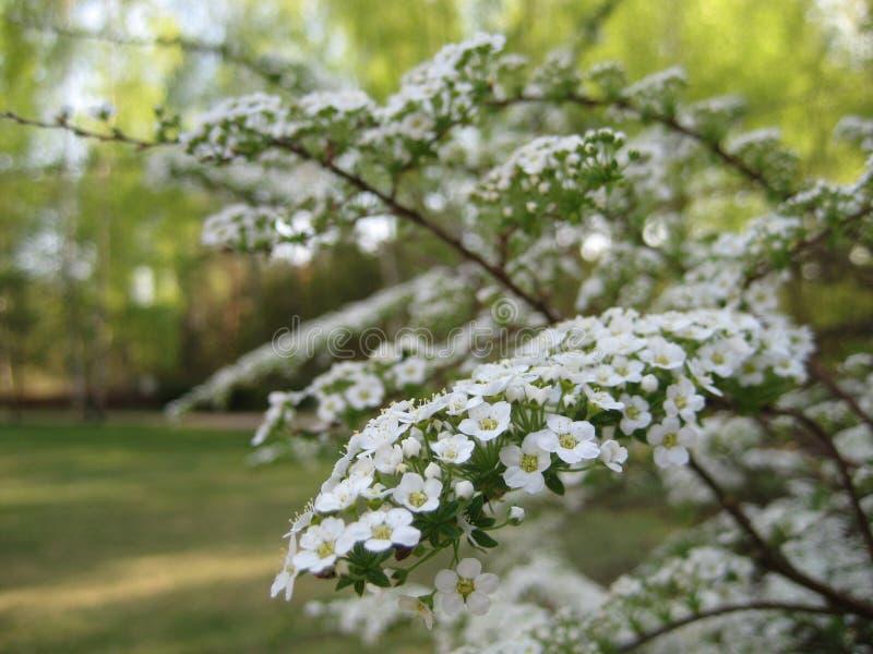 Makrofoto mit dekorativem Hintergrund von schönen Niederlassungen mit Blumen mit den weißen Blumenblättern der Zierpflanze spirea lizenzfreies stockfoto