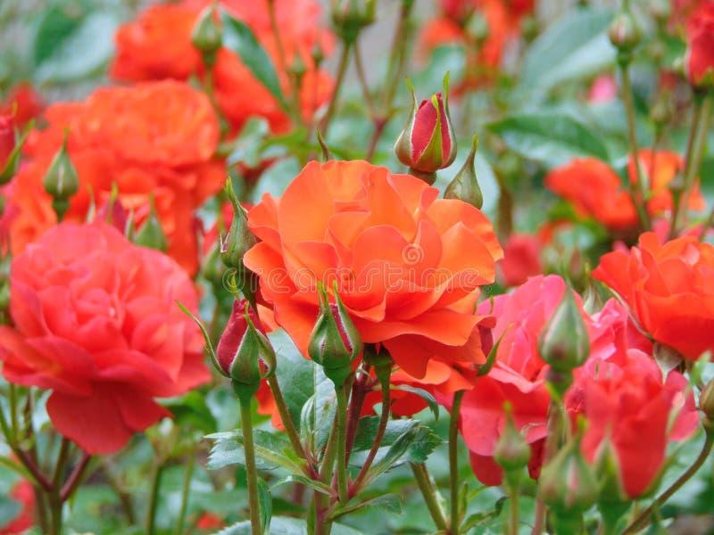 Makrofoto mit einem dekorativen Garten des natürlichen Hintergrundes blüht Bush lizenzfreie stockfotos