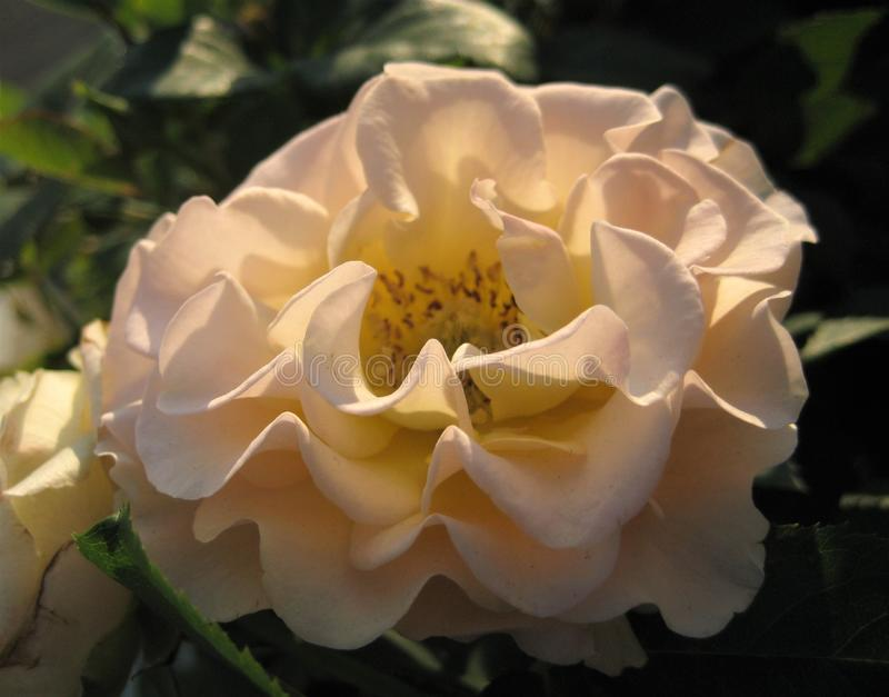 Makrofoto mit einem dekorativen Hintergrund einer schöne Blume Bush-Variationsrose stockbilder