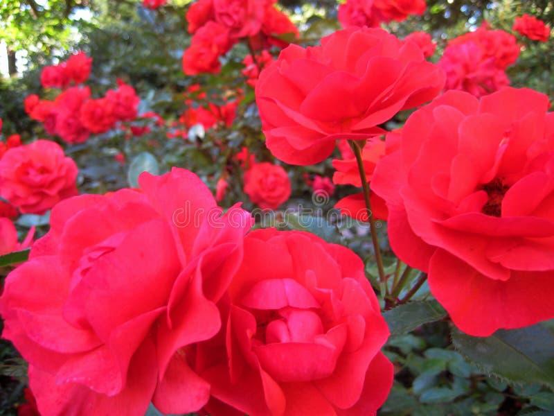 Makrofoto mit reizenden Gartenstrauchrosen mit den Blumenblättern von rosa und korallenroten Schatten auf dem Hintergrund des bot lizenzfreie stockfotos