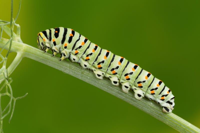 Makrofoto Swallowtail (Papilio Machaon) Caterpillar stockbilder