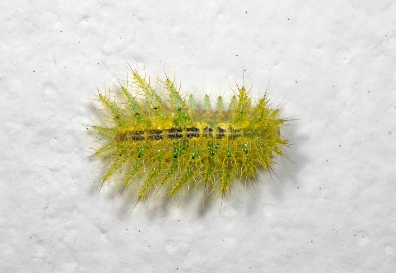 Makrofoto von buntem haarigem Caterpillar auf weißer Wand stockfotografie