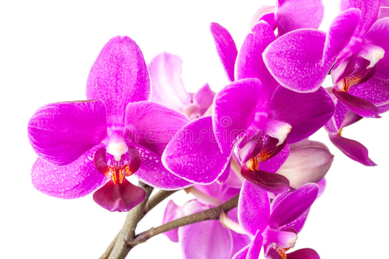 Makrofoto von den kleinen rosa Orchideenblumen lokalisiert stockfoto