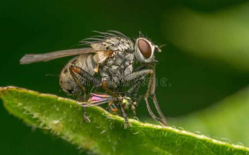 Makrofotoet av ett kryp, en Dolichopodidae fluga dödade vid en större fluga arkivbilder