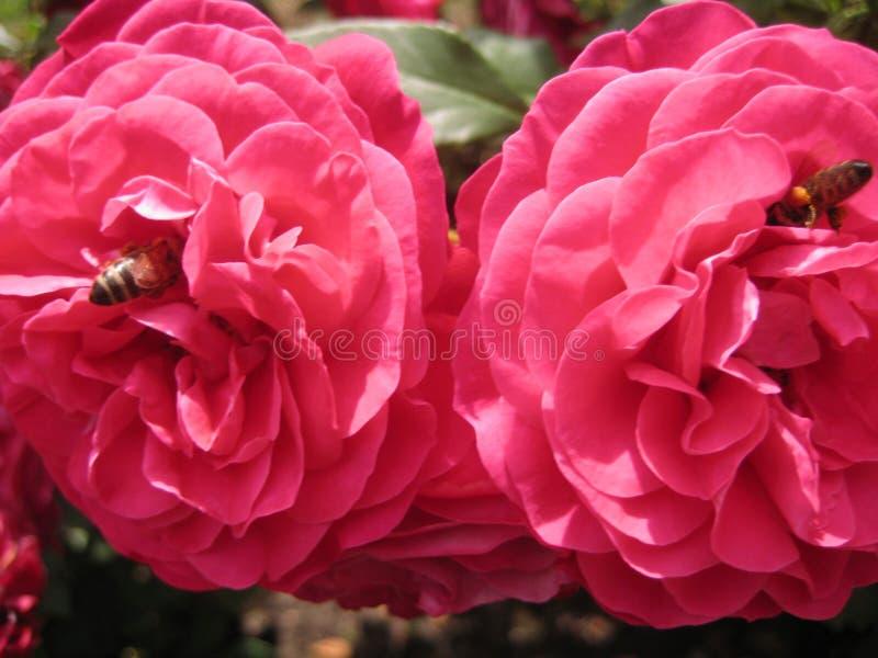 Makrofotoet med dekorativ bakgrund av härligt steg blommor med kronblad av rosa skugga av färg med två bin royaltyfria bilder