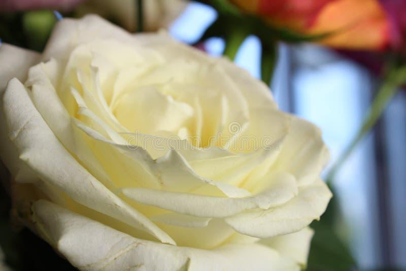 Makrofotografi av den gula och vita rosen royaltyfria foton