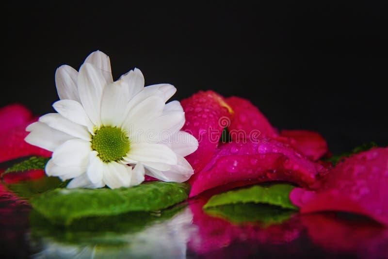 Makrofotografi av en härlig knopp av den vita osteospermumen på bakgrunden av våta, rosa, våta rosa kronblad som ligger på spegel arkivfoton
