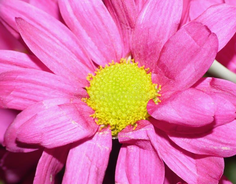 Makrofotografi av rosa Dahlia Flower med mitten för limefruktgräsplan royaltyfri foto