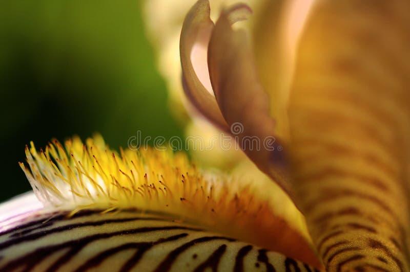 Makrofotografia irysowi kwiatów szczegóły płatki i stamens zdjęcie stock