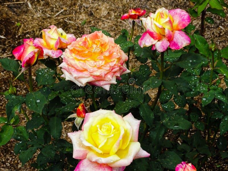 Makrofotografia menchia koloru róża zasadza kwitnienie w ogródzie obrazy stock