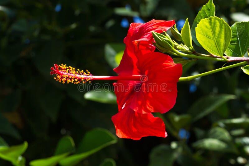 Makrofotooh Hibiscusanlage Rote Farbe lizenzfreies stockbild