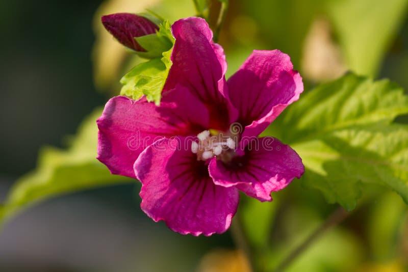 Makrofotooh Hibiscusanlage Violette Farbblume mit undeutlichen Blättern stockfotografie