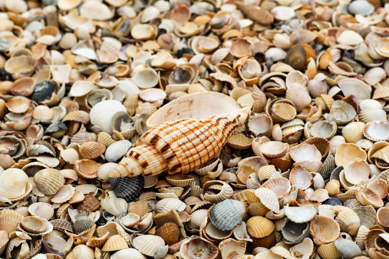 Makrofunktionsläge Ett stort härligt skal ligger bland de många lilla skalen på kusten royaltyfria bilder