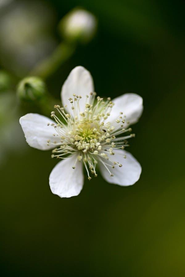 Makrohintergrundschöne kunst der wilden Blume in der Druckprodukte fünfzig megapixels Rubus occidentalis Rosaceaefamilie der hohe lizenzfreies stockbild