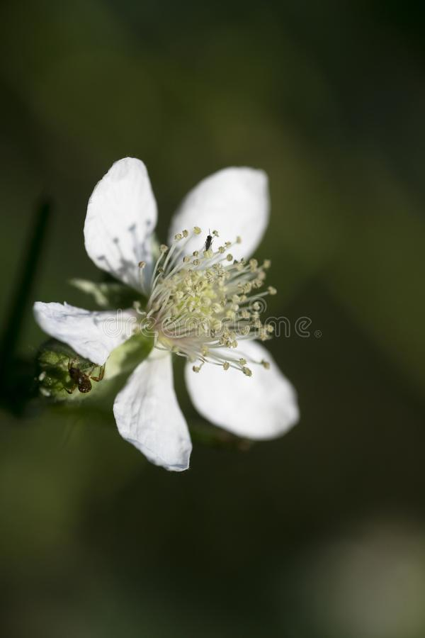 Makrohintergrundschöne kunst der wilden Blume in der Druckprodukte fünfzig megapixels Rubus occidentalis Rosaceaefamilie der hohe lizenzfreie stockfotos