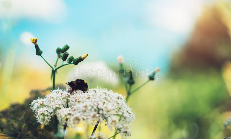 Makrohumlan på den trädgårds- blomman på den gula bakgrundblomväxten och blå himmel, bi sitter på en flora mot en grön fältbakgru arkivbilder