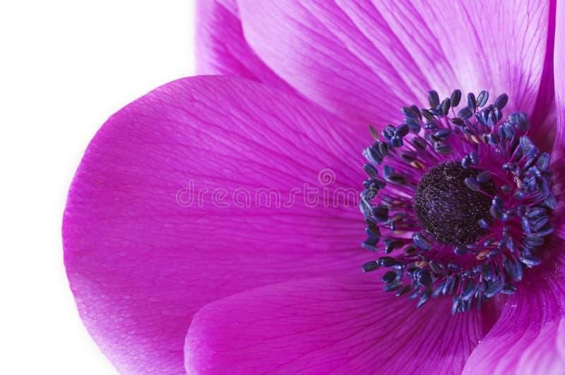 Makroinsida en purpurfärgad anemonblomma arkivfoton