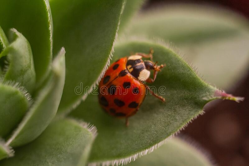 Makroladybug på en sekulär royaltyfria foton