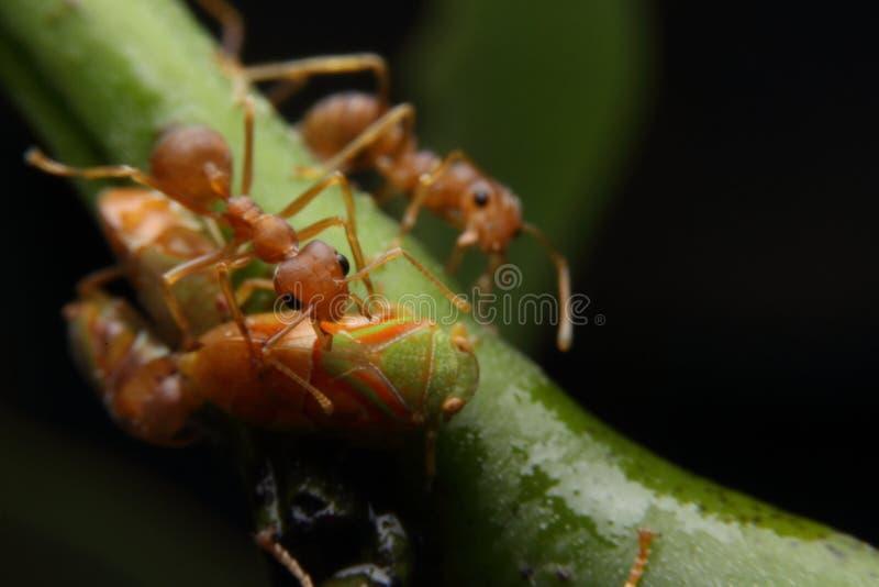 Makromyra och bladlus royaltyfri fotografi