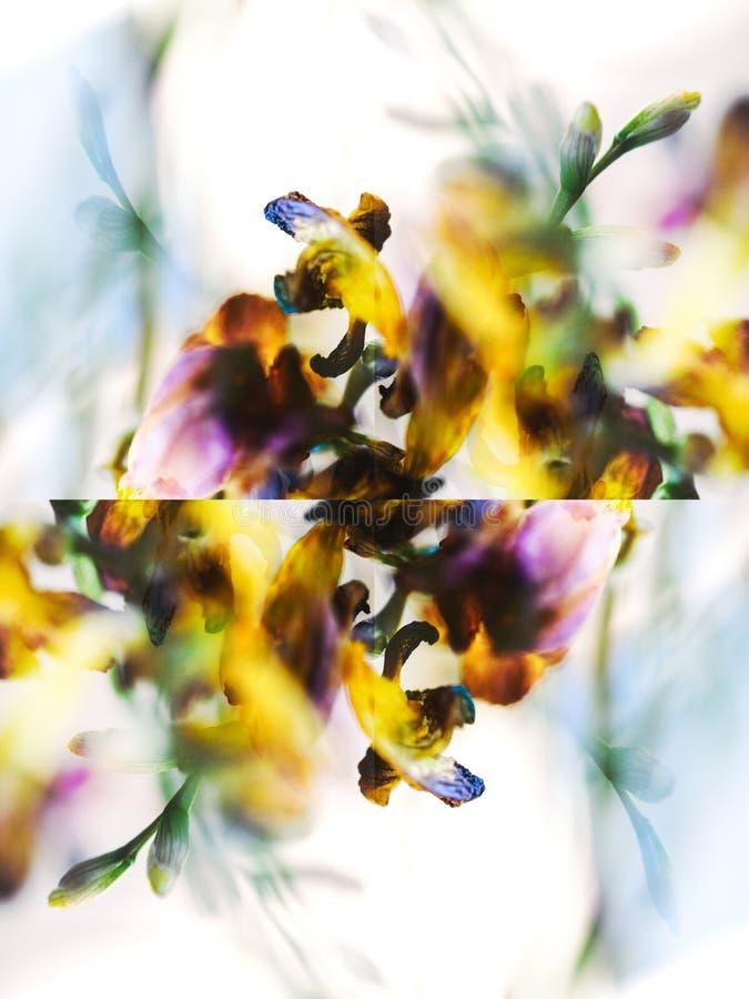 Makronärbildfotografiet av en freesia torkade den döda freesiablomman royaltyfri foto