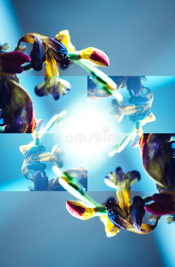 Makronärbildfotografiet av en freesia torkade den döda freesiablomman arkivfoton