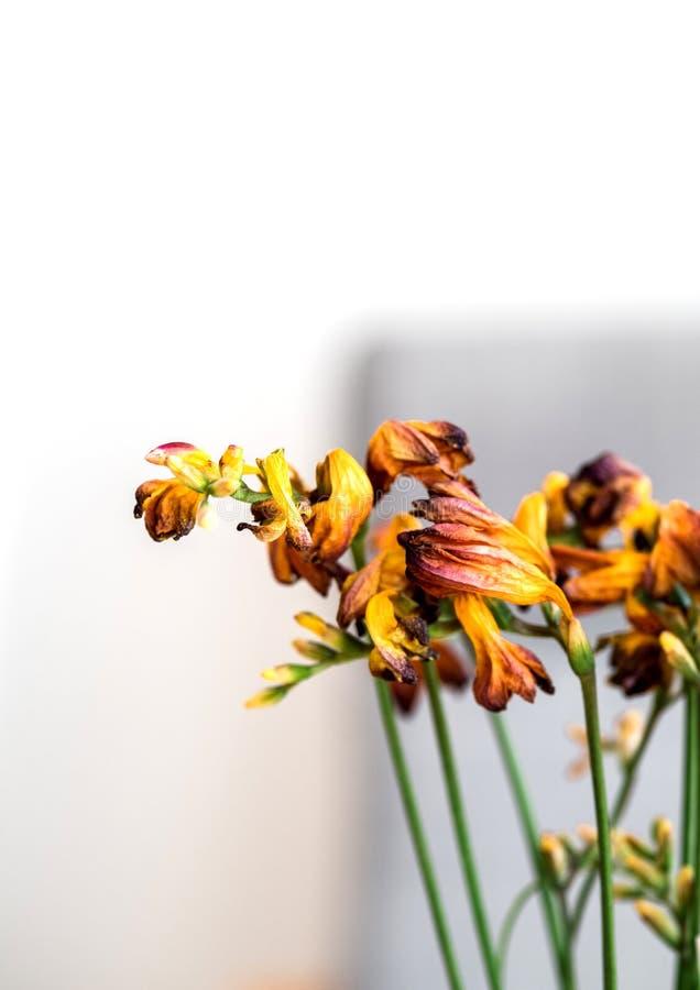 Makronärbildfotografiet av en freesia torkade den döda freesiablomman royaltyfri bild