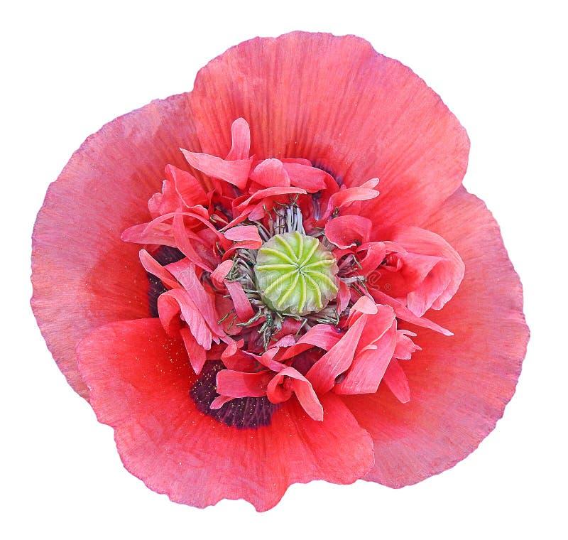 Makronahaufnahme auf Blumenbetriebsblumen, die Staubgefässe Blumenblätter zentrieren, stieg Mohnblumenrot lizenzfreies stockbild