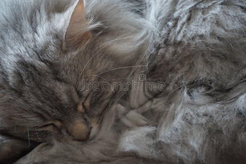 Makronahaufnahme der schönen sibirischen Katze stockfoto