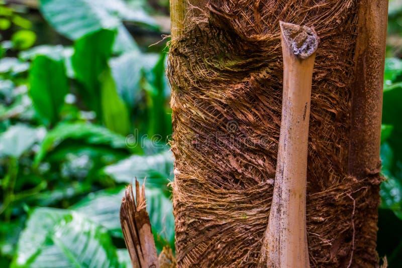 Makronahaufnahme eines Palmestammes, tropischen des Naturhintergrundes, der populären Gartenpflanzen und der Bäume stockfotografie