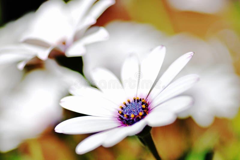Makronahe hohe weiße und purpurrote südafrikanische Gänseblümchen lizenzfreie stockfotografie