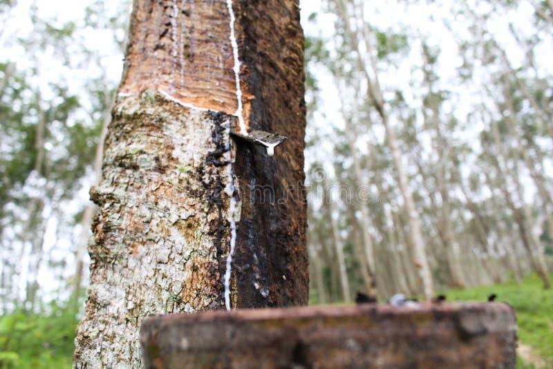Makronaher hoher frischer milchiger Latex extrahierte Tropfenwasser von Para lizenzfreie stockfotos