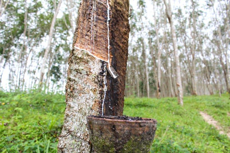 Makronaher hoher frischer milchiger Latex extrahierte Tropfenwasser von Para lizenzfreies stockfoto