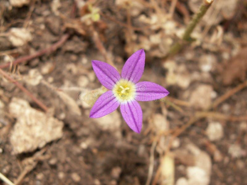 Makronatur - Lila-rosa färger blommar med fem kronblad arkivfoto