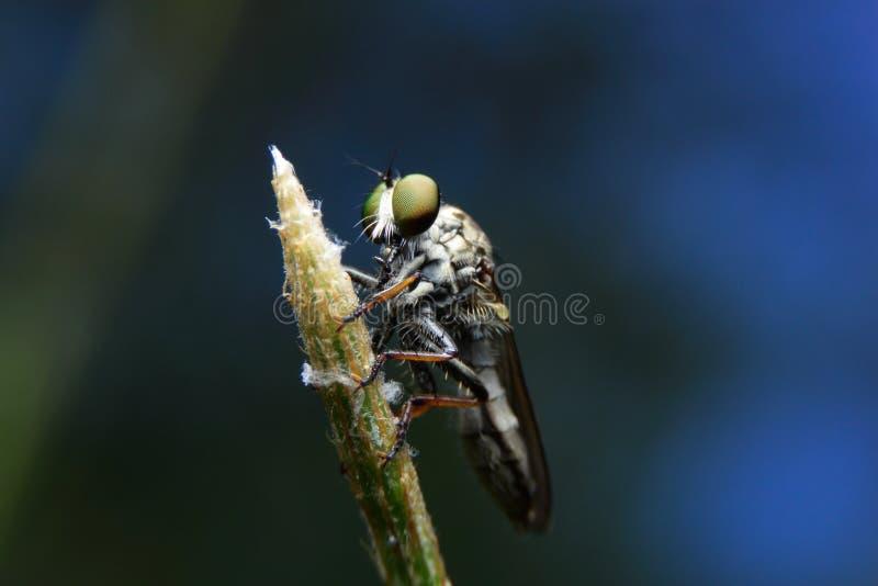 Makroobberfluga arkivfoton