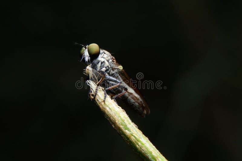 Makroobberfluga arkivfoto