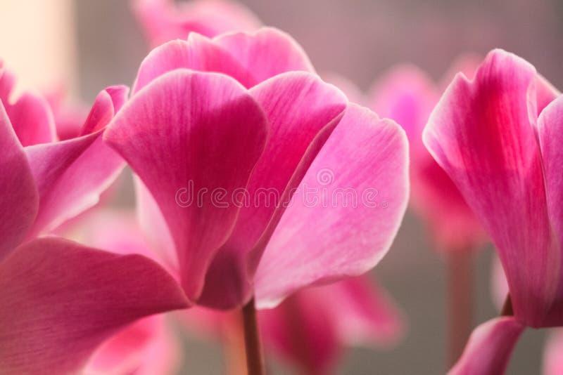 Makropetaler av rosa blommor Cyclamen blossom royaltyfri fotografi