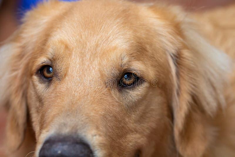 Makrophotographie der Augen eines aufmerksamen und glücklichen Hundes des golden retriever lizenzfreie stockbilder