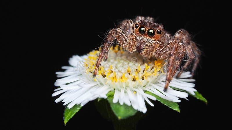 Makrophotographie der lokalisierten braunen springenden Spinne auf wenig Schwarzhintergrund der weißen Blume stockfoto