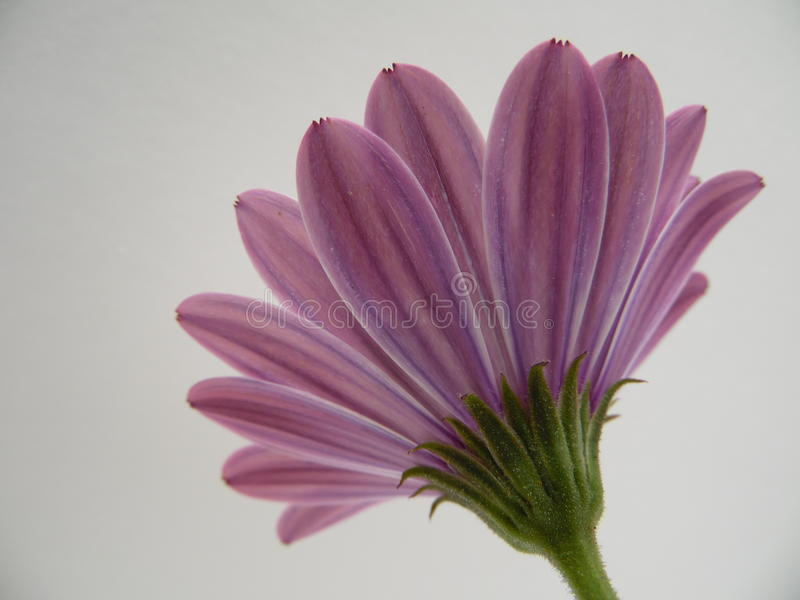 Makrophotographie der Rückseite des Afrikaners Daisy Flowers lizenzfreies stockfoto