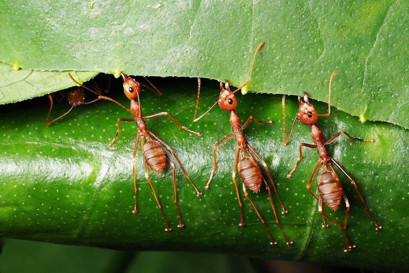 Makrophotographie von drei roten Ameisen, die versuchen, das Blatt zu ziehen, um ihr Haus zu machen stockbild