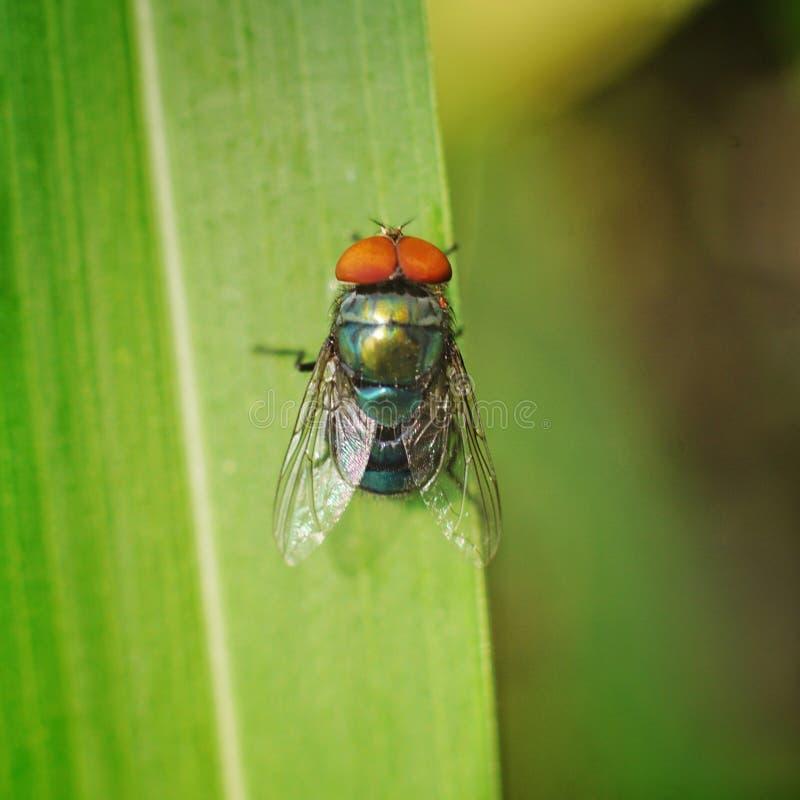 Makrophotographie von Fliegen oben an vom grünen Blatt lizenzfreie stockfotografie