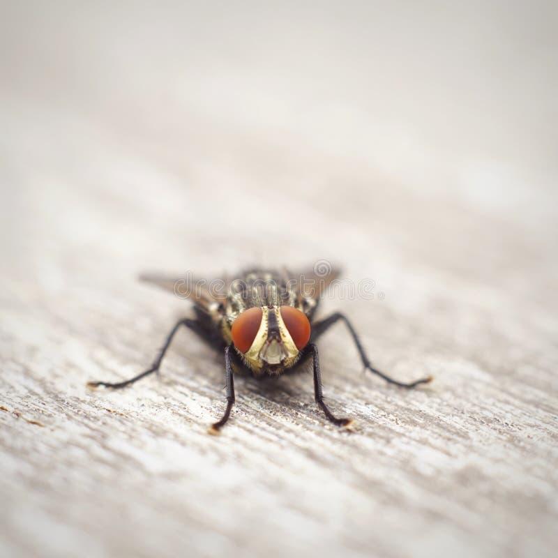 Makrophotographie von Fliegen trinkt Wasser auf dem grünen Blatt lizenzfreie stockfotos