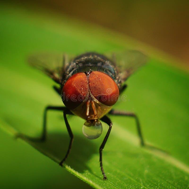 Makrophotographie von Fliegen trinkt Wasser auf dem grünen Blatt stockfotografie