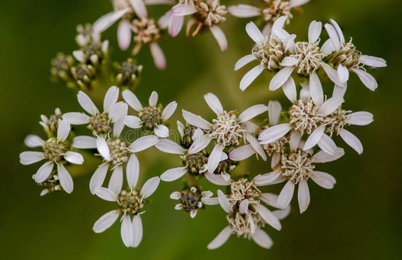 Makrophotographie von kleinen weißen Wildflowers lizenzfreie stockfotos