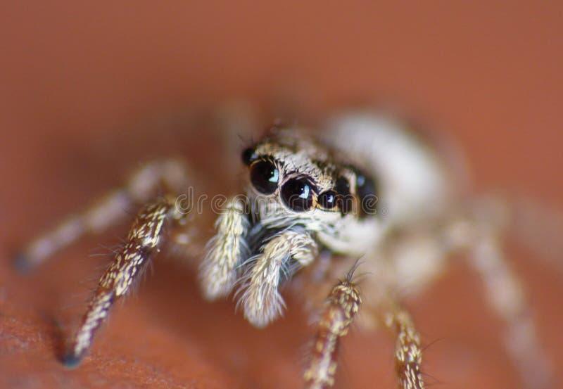 Makrophotographieabschluß oben einer springenden Spinne, Foto eingelassen Großbritannien stockfotografie