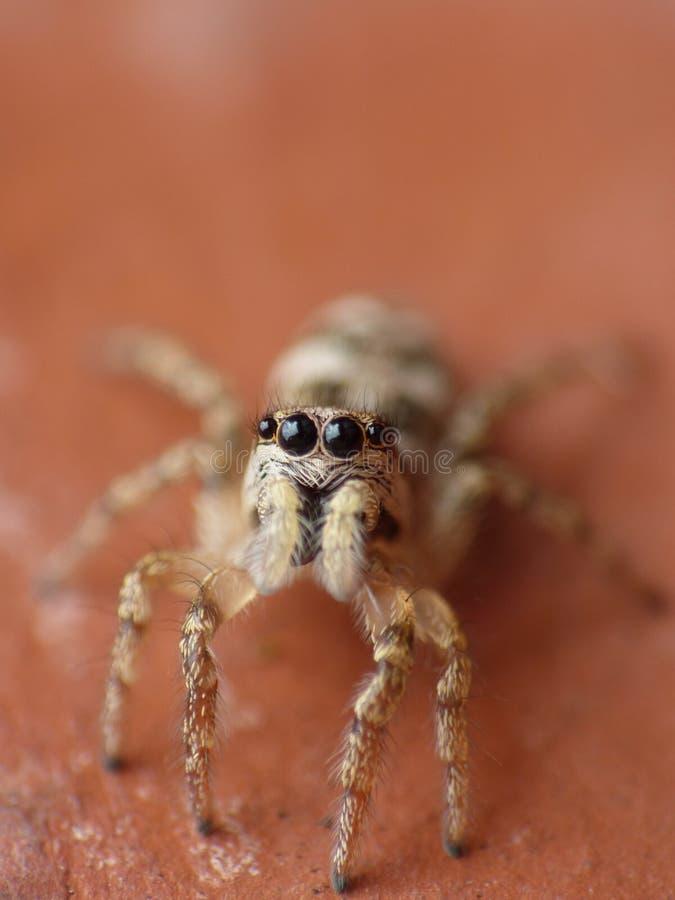 Makrophotographieabschluß oben einer springenden Spinne, Foto eingelassen Großbritannien stockbild