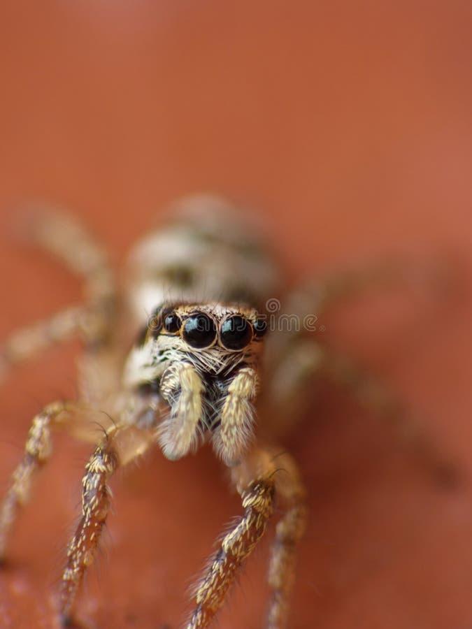 Makrophotographieabschluß oben einer springenden Spinne, Foto eingelassen Großbritannien stockfotos