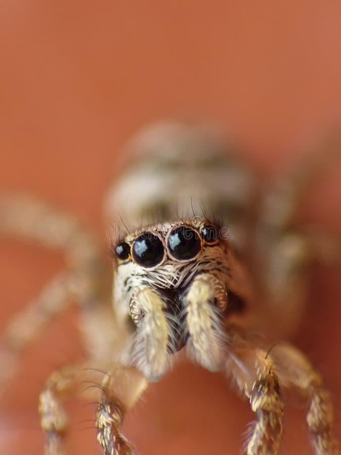 Makrophotographieabschluß oben einer springenden Spinne, Foto eingelassen Großbritannien lizenzfreies stockbild